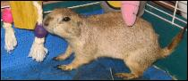 It's Pooh the Prarie Dog!